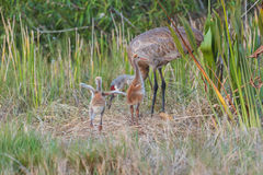 Μωρά canadensis Grus γερανών Sandhill ειδάλλως γνωστά ως πουλάρια στοκ φωτογραφία με δικαίωμα ελεύθερης χρήσης