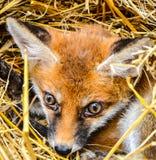 Μωρό αλεπούδων στοκ φωτογραφία με δικαίωμα ελεύθερης χρήσης