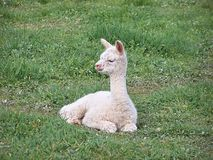 μωρό αλπάκα Στοκ Φωτογραφία