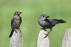 Μωρό ανατολικό Bluebird και γκρίζο Catbird στοκ εικόνες