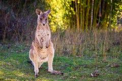 Μωρό καγκουρό, ακτή ηλιοφάνειας, Αυστραλία στοκ φωτογραφία με δικαίωμα ελεύθερης χρήσης