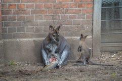 Μωρό και μητέρα του Bennett Wallaby στο ζωολογικό κήπο Άμστερνταμ Artis οι Κάτω Χώρες Στοκ φωτογραφίες με δικαίωμα ελεύθερης χρήσης