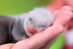 Μωρό κουναβιών στα ανθρώπινα χέρια Στοκ φωτογραφία με δικαίωμα ελεύθερης χρήσης