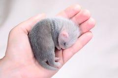 Μωρό κουναβιών στα ανθρώπινα χέρια Στοκ φωτογραφίες με δικαίωμα ελεύθερης χρήσης