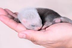 Μωρό κουναβιών στα ανθρώπινα χέρια Στοκ Εικόνες