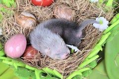 Μωρό κουναβιών στη φωλιά του σανού Στοκ φωτογραφίες με δικαίωμα ελεύθερης χρήσης