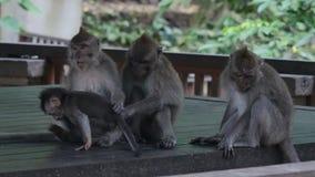 Μωρό πιθήκων με τα ενήλικα ζώα στο Μπαλί απόθεμα βίντεο