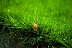 Μωρό σαλιγκαριού στην πράσινη χλόη Στοκ εικόνα με δικαίωμα ελεύθερης χρήσης