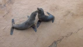 Μωρό της καφετιάς σφραγίδας γουνών - λιοντάρια θάλασσας, άγρια φύση της Ναμίμπια, Αφρική απόθεμα βίντεο