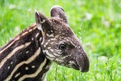 Μωρό του διακυβευμένου νότου - αμερικανικό tapir Στοκ Εικόνες