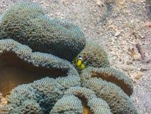 μωρό anemonefish που κοιτάζει Στοκ εικόνα με δικαίωμα ελεύθερης χρήσης