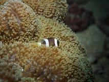 Μωρό anemonefish σε ένα anemone Στοκ φωτογραφίες με δικαίωμα ελεύθερης χρήσης