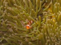 μωρό anemonefish Στοκ φωτογραφίες με δικαίωμα ελεύθερης χρήσης