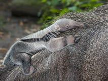 Μωρό Anteater Στοκ εικόνα με δικαίωμα ελεύθερης χρήσης