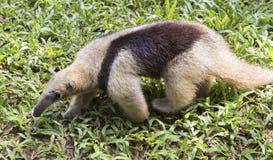 Μωρό anteater Στοκ Φωτογραφία