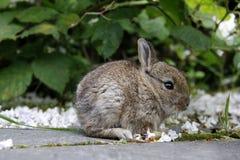 Μωρό babbit Στοκ Φωτογραφία