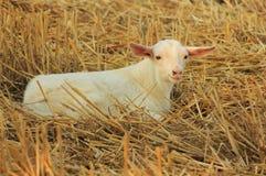 Μωρό bamb στο άχυρο Στοκ Εικόνες