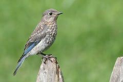 μωρό bluebird ανατολικό Στοκ εικόνα με δικαίωμα ελεύθερης χρήσης