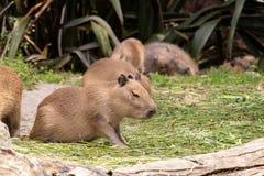 Μωρό Capybara με τον ύπνο μητέρων στο υπόβαθρο στοκ φωτογραφίες