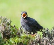 μωρό catbird Στοκ φωτογραφία με δικαίωμα ελεύθερης χρήσης