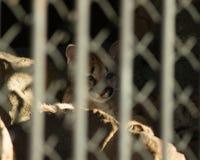 Μωρό cougars πίσω από τα κάγκελα, στο ζωολογικό κήπο στοκ φωτογραφία με δικαίωμα ελεύθερης χρήσης