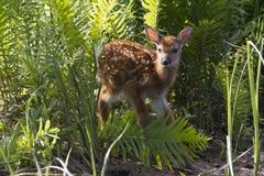 Μωρό fawn Στοκ Εικόνες