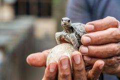 Μωρό Galapagos Tortoise Στοκ φωτογραφία με δικαίωμα ελεύθερης χρήσης