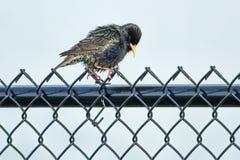 Μωρό grackle που σκαρφαλώνει σε έναν φράκτη τυφώνα που ξεραίνει τα φτερά του Στοκ Εικόνες