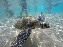 Μωρό Honu (χελώνα) στοκ φωτογραφία με δικαίωμα ελεύθερης χρήσης