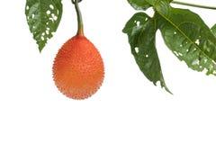 Μωρό jackfruit Στοκ φωτογραφία με δικαίωμα ελεύθερης χρήσης