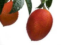 Μωρό jackfruit Στοκ εικόνα με δικαίωμα ελεύθερης χρήσης