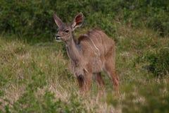 Μωρό Kudu Στοκ Εικόνες