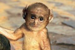 Μωρό Langur Στοκ φωτογραφία με δικαίωμα ελεύθερης χρήσης