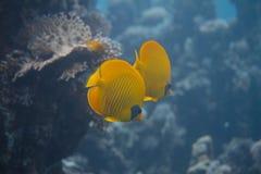 Μωρό Lyretail Hogfish στο επιτραπέζιο κοράλλι στοκ φωτογραφίες