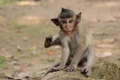 μωρό macaque Στοκ Εικόνες