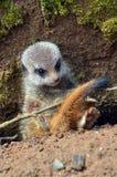 Μωρό meerkat «που παγιδεύεται» κάτω από έναν κλαδίσκο Στοκ εικόνα με δικαίωμα ελεύθερης χρήσης