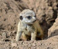 μωρό meerkat Στοκ εικόνες με δικαίωμα ελεύθερης χρήσης