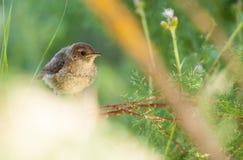 Μωρό Nightingale Στοκ φωτογραφίες με δικαίωμα ελεύθερης χρήσης