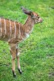 Μωρό Nyala σε έναν ζωολογικό κήπο, Βερολίνο Στοκ εικόνες με δικαίωμα ελεύθερης χρήσης