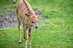 Μωρό Nyala σε έναν ζωολογικό κήπο, Βερολίνο Στοκ Φωτογραφία