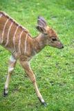 Μωρό Nyala σε έναν ζωολογικό κήπο, Βερολίνο Στοκ Εικόνα