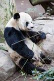Μωρό Panda Στοκ φωτογραφία με δικαίωμα ελεύθερης χρήσης