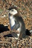 Μωρό penguin Στοκ Φωτογραφίες
