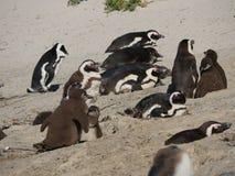 Μωρό penguins στην παραλία λίθων, Καίηπ Τάουν Στοκ Εικόνες