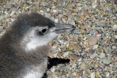 Μωρό Pinguin Στοκ εικόνα με δικαίωμα ελεύθερης χρήσης