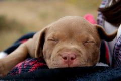 μωρό pitbull rednose Στοκ εικόνα με δικαίωμα ελεύθερης χρήσης