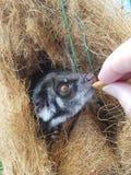 Μωρό Possum Στοκ εικόνα με δικαίωμα ελεύθερης χρήσης