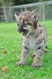 Μωρό Puma Στοκ Φωτογραφίες