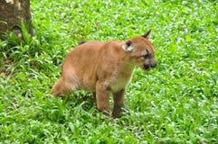Μωρό Puma Στοκ Εικόνα