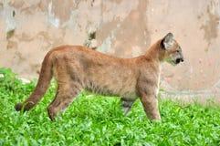 Μωρό Puma Στοκ Εικόνες
